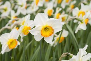 Flowerdrift Narcissus by Mark Bolton