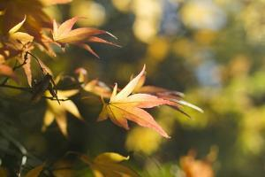 Japanese Maple Leaves in Autumn by Mark Bolton
