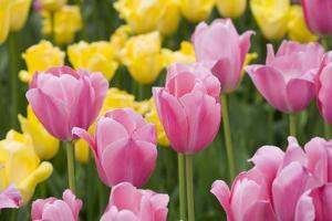 Mirella Tulips by Mark Bolton