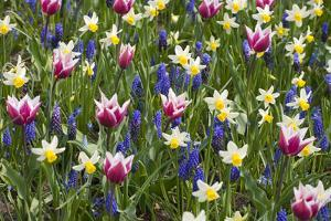 Mixed Tulips and Grape Hyacinth by Mark Bolton