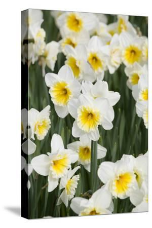 Orange Ice Follies Narcissus