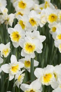 Orange Ice Follies Narcissus by Mark Bolton