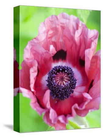 Pink Poppy in Bloom