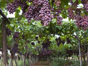 Red table grapes on vine in Basilicata by Mark Bolton