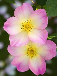 Rosa 'The Alexandra Rose' by Mark Bolton