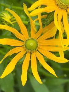 Rubeckia Hirta Flowers by Mark Bolton