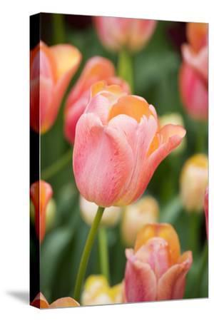Tequila Sunrise Tulips