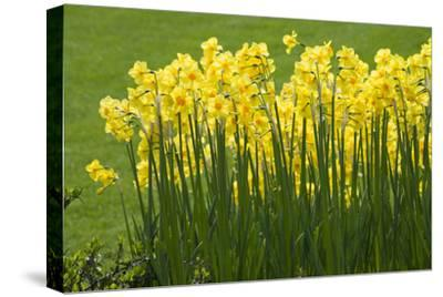 Yellow Martinette Narcissus