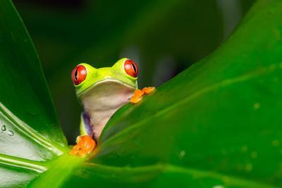 Yo! A Red Eye Tree Frog