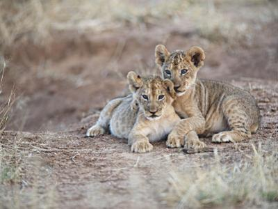 Two African Lion Cubs, Arm in Arm, as They Play in Kenya by Mark C. Ross