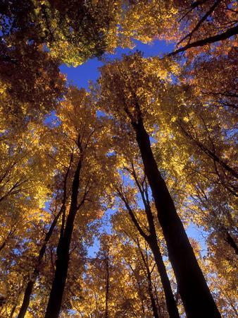 Blue Sky Through Sugar Maple Trees in Autumn Colors, Upper Peninsula, Michigan, USA