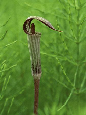 Jack-In-The-Pulpit Flower Amid Green Equisetum Ferns in Springtime, Michigan, USA