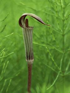 Jack-In-The-Pulpit Flower Amid Green Equisetum Ferns in Springtime, Michigan, USA by Mark Carlson