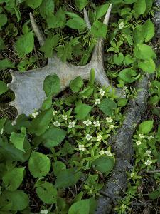 Moose Antler in Bunchberry Flowers at Springtime, Isle Royale National Park, Michigan, USA by Mark Carlson