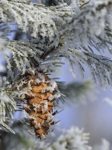 Morning Light on Balsam Fir Cone with Frost, Michigan, USA by Mark Carlson