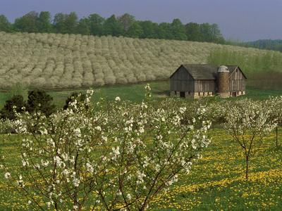 Old Barn Next to Blooming Cherry Orchard and Field of Dandelions, Leelanau County, Michigan, USA