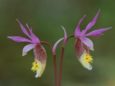 Pair of Calypso Orchids, Upper Peninsula, Michigan, USA