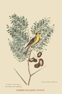 American Goldfinch by Mark Catesby