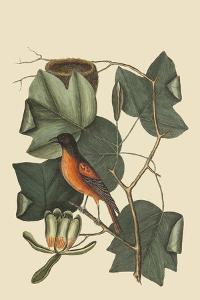 Baltimore Oriole by Mark Catesby