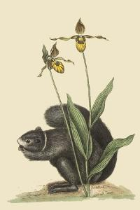 Black Squirrel by Mark Catesby