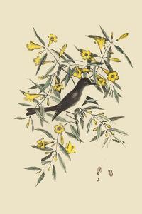 Blackcap Flycatcher by Mark Catesby