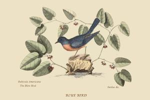 Blue Bird by Mark Catesby
