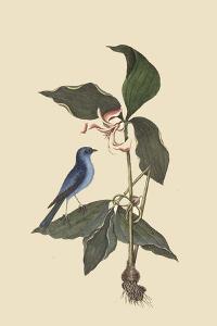 Blue Linnet by Mark Catesby