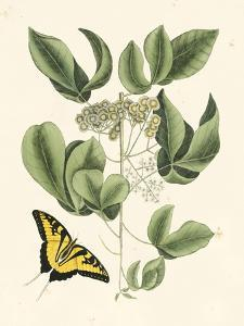 Butterfly and Botanical II by Mark Catesby