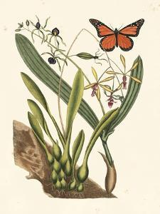 Butterfly and Botanical IV by Mark Catesby