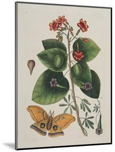 Caryophylus Spurius Inodorus and the Great Moth by Mark Catesby