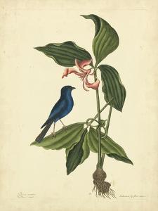 Catesby Bird & Botanical IV by Mark Catesby