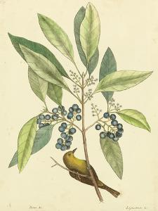 Catesby Bird & Botanical V by Mark Catesby