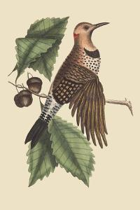 Golden Winged Woodpecker by Mark Catesby