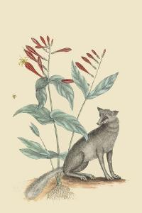 Gray Fox by Mark Catesby
