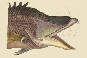 Great Hog Fish by Mark Catesby