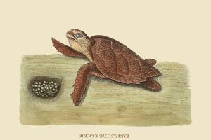 Hawks Bill Turtle by Mark Catesby