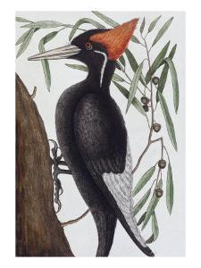 Large White Billed Woodpecker, Natural History of Carolina, Florida and the Bahamas Islands, 1731 by Mark Catesby
