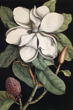 Laurel Tree, 1731-1743