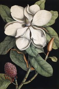 Laurel Tree, 1731-1743 by Mark Catesby