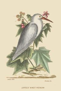 Little White Heron by Mark Catesby