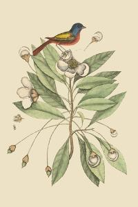 Painted Finch by Mark Catesby
