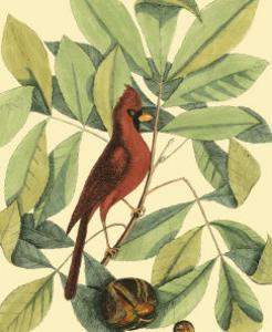 Red Bird and Hiccory Tree by Mark Catesby