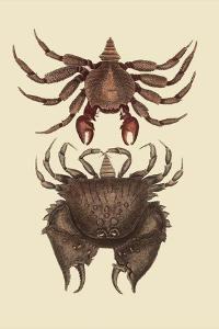 Rock Crab by Mark Catesby