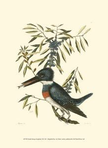 Small Antique Kingfisher II by Mark Catesby