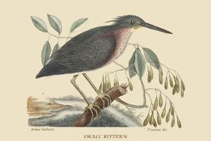 Small Bittern by Mark Catesby