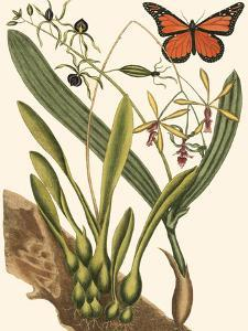 Small Catesby Butterfly and Botanical IV by Mark Catesby