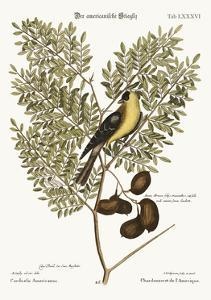 The American Goldfinch, 1749-73 by Mark Catesby