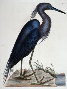 The Blue Heron by Mark Catesby