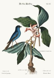 The Blue Linnet, 1749-73 by Mark Catesby