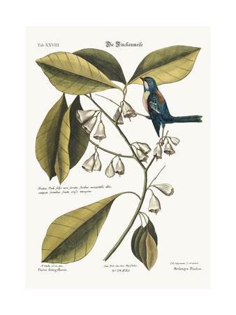 The Finch-Creeper, 1749-73